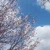 今週、福岡堰は桜が見ごろを迎えそうです。金曜はさくらまつりに!