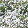 今年の桜の見ごろはいつか?