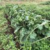 根菜類の様子