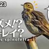 1223【スズメ似鳥でもセキレイ科】タヒバリ捕食、小さな猛禽モズがオナガを襲う。イソヒヨドリのペリット、エナガのホバリング、カワセミメジロシジュウカラ【 #今日撮り野鳥動画まとめ 】 #身近な生き物語