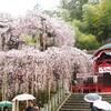 小川諏訪神社 雨のシダレ桜を見てきました