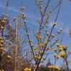 霊園風景 その50    「‥春を呼ぶ  サンシュユの花」