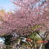 河津桜&梅が見頃