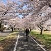 チャリ編/桜満開入間川〜川越ちょい食べ歩き