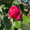 ピンクピース咲いとった