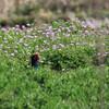 レンゲ畑のキジ