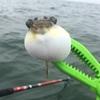 6月末の三河湾カヤックフィッシングはいろいろ釣れて楽しかった。平らなヤツにも遭遇!?