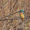鳥撮り@多摩川(中野島)でオオジュリン、モズ、カワセミ