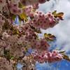 八重桜の季節&子育てのこと