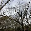 桜のつぼみ、まだまだ固い