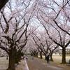 中央植物園の桜2017