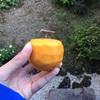 10月26日 干し柿好きな人ー?