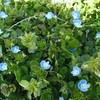オオイヌノフグリと春の木の花、そして映画「エヴェレスト 神々の山嶺」