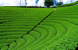 知ってますか?宇治茶の一大産地・和束町。究極の新茶を飲もう!
