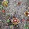 2度目の栗拾い イガだけが The second time chestnut-picking