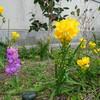 就労準備支援 菜園プロジェクト フリージアが咲きました