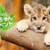 ライオンの赤ちゃんを抱けるチャーンス!富士サファリパーク