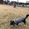 しっぽフェスタ2017と、昭和記念公園の紅葉まつりへ