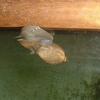 巻き貝の子供