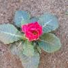 バラ咲きプリムラ。