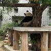 KOBE観光の日。神戸王子動物園無料開放。パンダ。