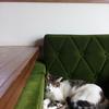 さっちゃん専用ソファーで(つ∀-)オヤスミーです(^^♪