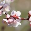 開花率2割の偕楽園の梅