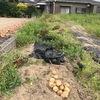 今朝はジャガイモを1列収穫。ほどほどにいい感じ。