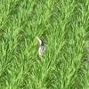 長い舌を出して鳴きながら飛ぶゴイサギ幼鳥