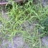 雑草を抜くために買ったものと勝手な雑草分類