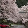 海津大崎、桜開花情報(2017年4月12日7時現在)