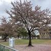 今日の葉桜