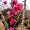 つくば市の筑波山梅林で早い春を堪能してきました