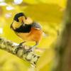 🐦野鳥の回【87】ヤマガラ食事に夢中で警戒心ゼロ