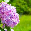 【あじさい】梅雨の季節といえば紫陽花なので大宰府政庁跡付近で写真撮ってきたよ