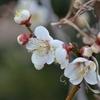 散歩がてら梅の花を見に行ってきました