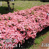 花見川〜京成バラ園2011春にて 2011/05/31 満開の花見川 (5/10に撮った咲く直前の写真もあるよ)