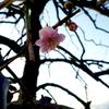 サクラサク〜花漬けの色と香り
