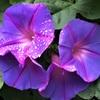 ノアサガオとヒルガオの花