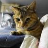 4月後半の #ねこ #cat #猫 どらやきちゃんB
