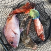 「明けましておめでとう」と赤い魚はいつだってホマレ🐄