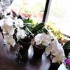 胡蝶蘭咲いています*