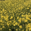 春散歩。川べりの菜の花も、ボケも満開でした。あ、つくしも。