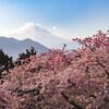 まつだ桜まつりで桜と絶景