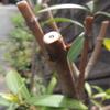 2012/05/01 キョウチクトウの赤花の芽