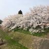島根県雲南市でお花見してきた