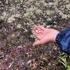 地味なアジュガ、一生懸命生きているのに除去の危機。