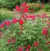 セージとサルビアは同じ意味? / 日常的には「セージ」はハーブ/香辛料 コモンセージ(サルビア・オフィキナリス).「サルビア」は一年性の赤花(サルビア・スプレンデンス). / 「シソ科サルビア属のことを英名でセージというので、セージは広い意味ではサルビア属全体の植物を指します」⇒更に調べてみたら「サルビアはヘルシーを意味するラテン語,ラテン語サルビアから派生した英語がセージ」  スッキリしました.