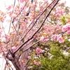 今年の桜と「櫻子さん」ドラマ版