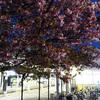 近所の駅の桜